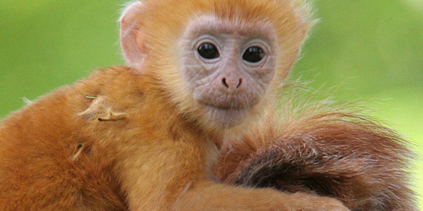 Javaanse langoer geboren in Apenheul