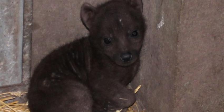 Hyena-pup overleden in DierenPark Amersfoort
