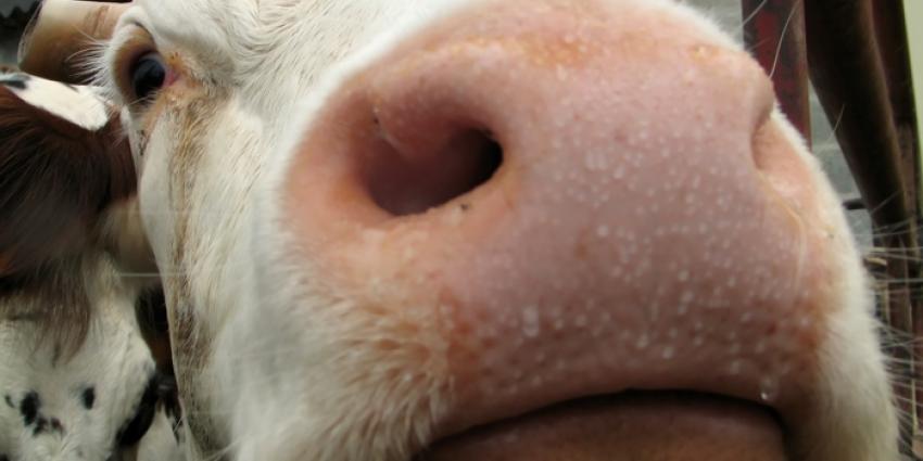 NVWA treedt op tegen illegaal antibioticagebruik bij kalverhouder