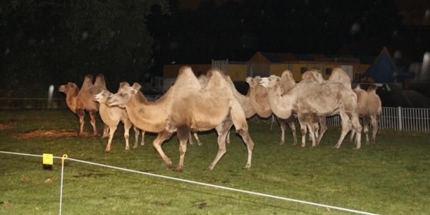 Circuskamelen ontsnappen in Hoogvliet