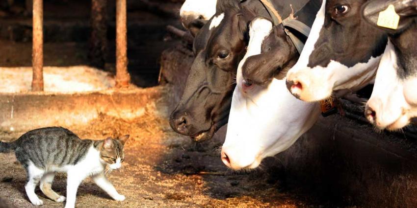 koeien en poes