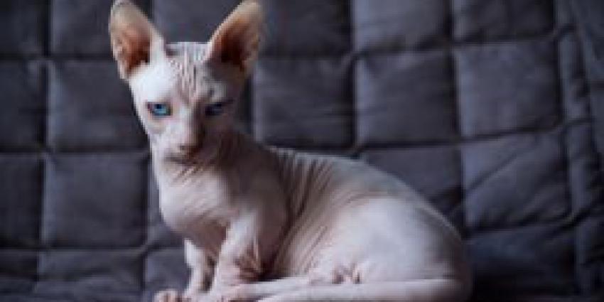 Verbod op fokken 16 kattenrassen aanstaande