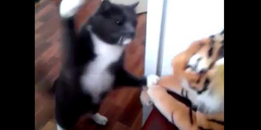 Tijger moet flinke klappen incasseren van kat