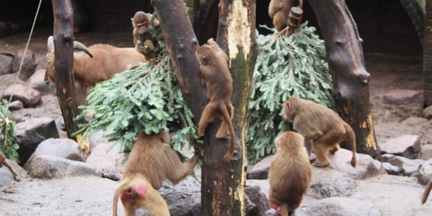 dieren, dierenpark Amersfoort, kerstbomen