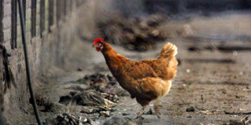 Vogelgriep vastgesteld bij 63.000 Friese leghennen