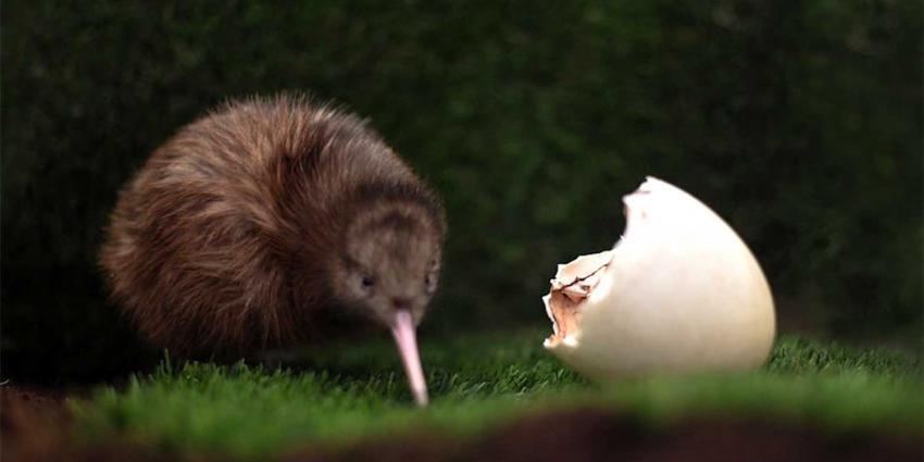 Eerste kiwi kruipt uit Nederlands ei