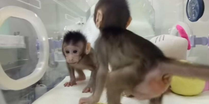 Klonen van apen is China gelukt. Wanneer volgt de mens