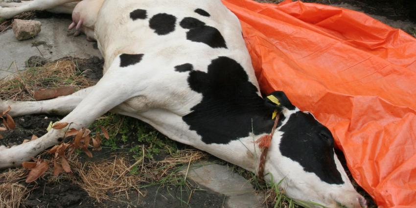 Veewagen met 300 kalfjes kantelt op A16, tientallen kalfjes dood