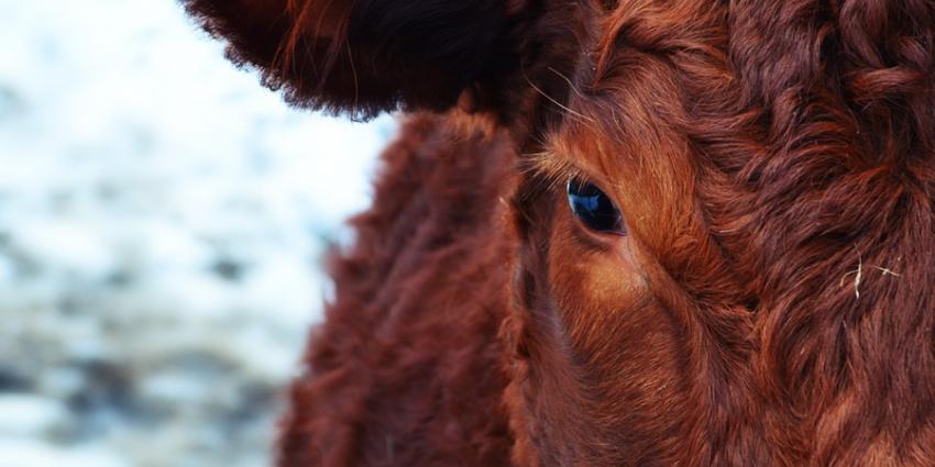 PvdD start fondswerving voor koe Hermien
