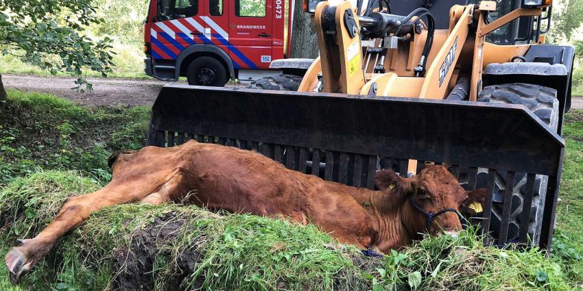 Brandweer redt koe uit sloot in natuurgebied Liempde