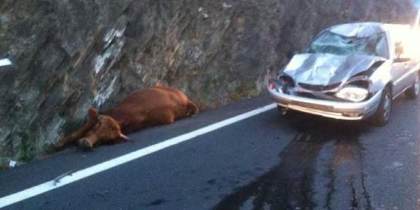 Koe valt uit de lucht boven op auto