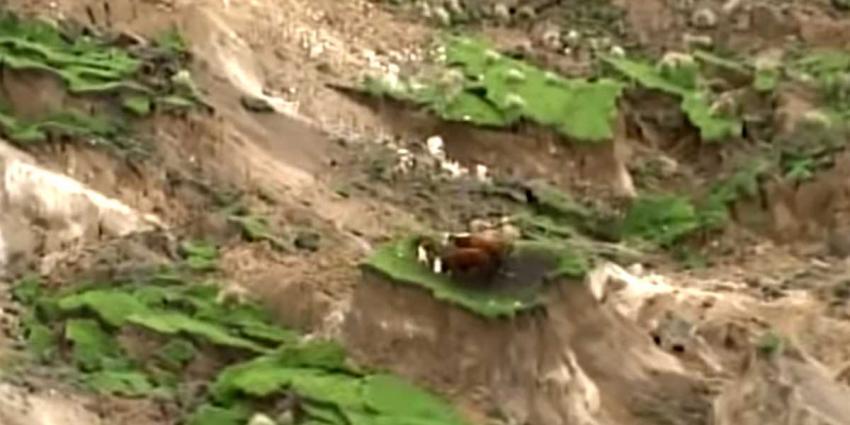 Boer weet door aardbeving getroffen koeien Nieuw-Zeeland te redden