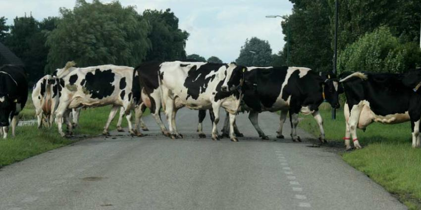 Brabants dorpje Bladel overspoelt met losgebroken koeien