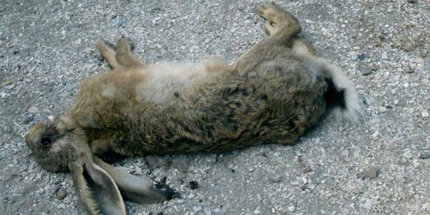 Mysterieus virus doodt massaal konijnen