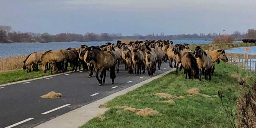 Paarden en runderen geëvacueerd om hoogwater