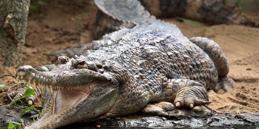 Foto van krokodil   Edwin Butter   www.butterfoto.weebly.com