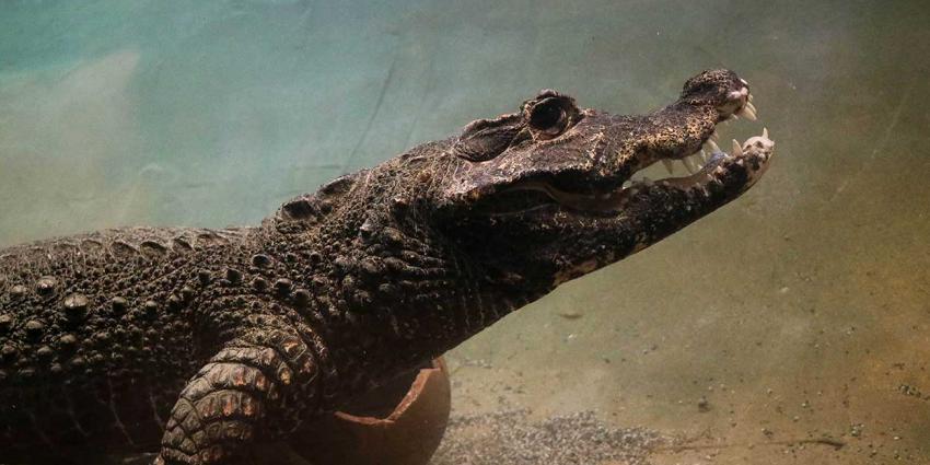 Krokodillen ontmoeten elkaar voor het eerst in DierenPark Amersfoort