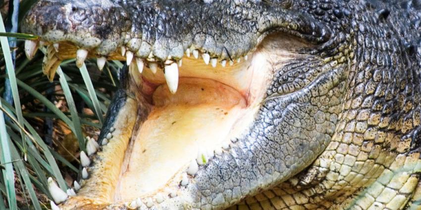 Drugshandelaren gebruiken krokodillen als geldbewakers