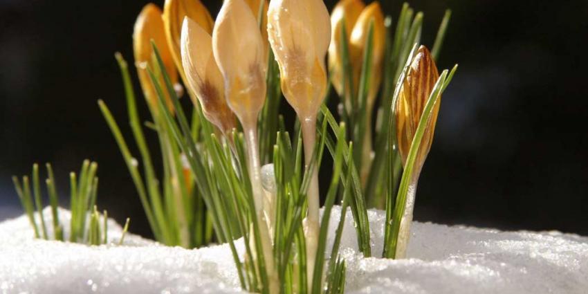 Eeuwenoud plantje onderzocht of het hartinfarct kan voorkomen