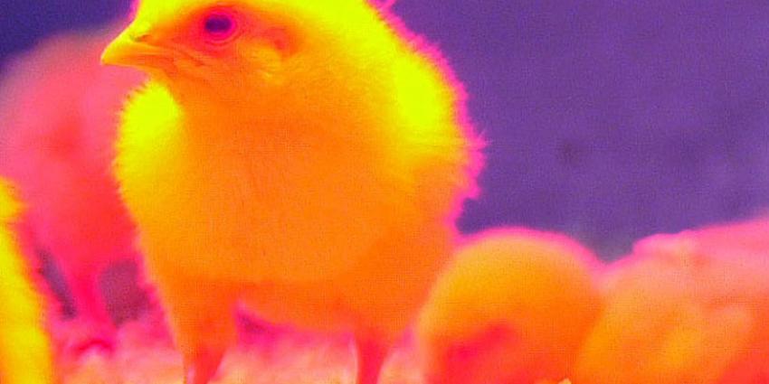 Wakker Dier: Overheid grijpt niet in bij kuikensterfte