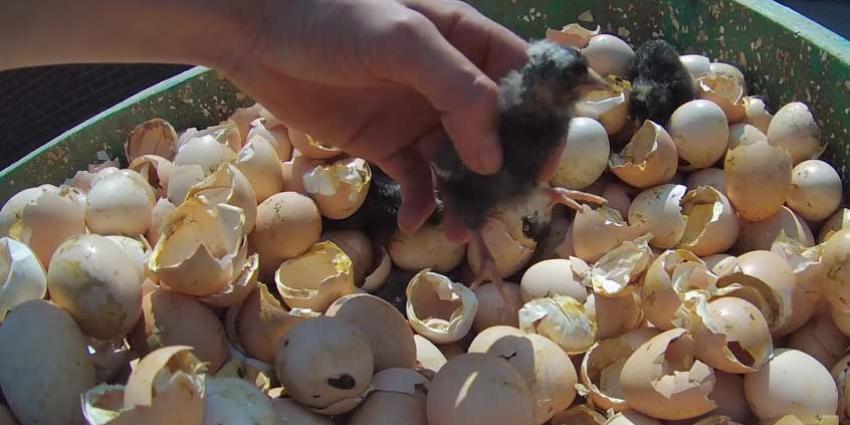Animal Rights toont opnieuw undercoverbeelden van dierenleed kippenkwekerijen