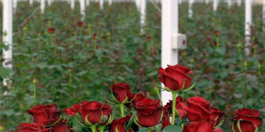 Vier bloemenkwekerijen van coöperatie FloraHolland platgebrand en vernield