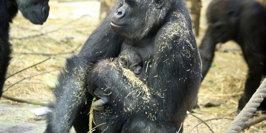 Plotseling overlijden westelijke laaglandgorilla (33) ARTIS