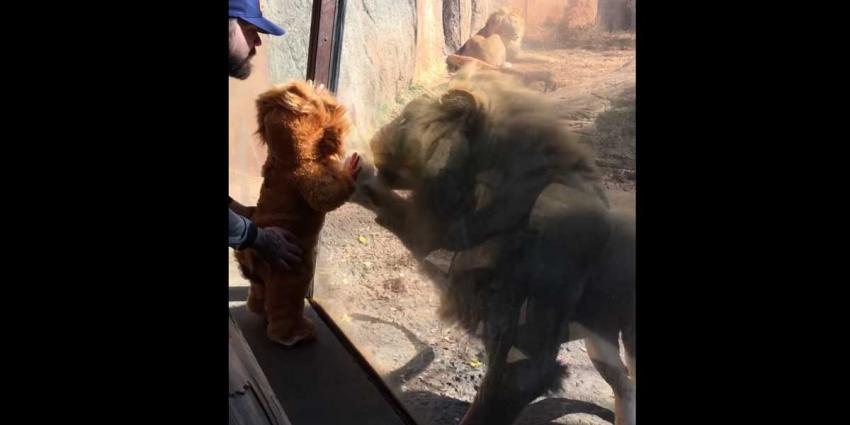Baby-'welpje' trekt aandacht leeuwin in dierentuin