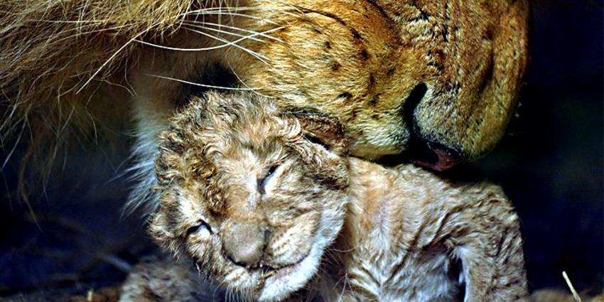 Foto van leeuwin met pasgeboren welp   GaiaZOO