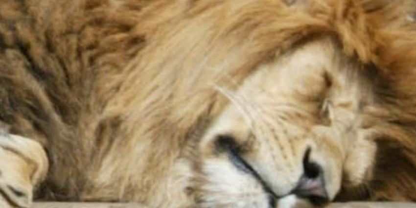 Leeuwen ontsnapt in Duitse dierentuin