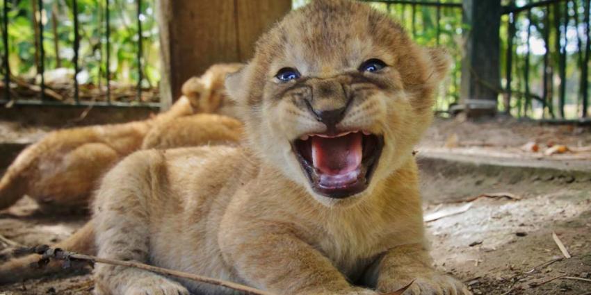 Drieling leeuwenwelpjes geboren in Safaripark Beekse Bergen!
