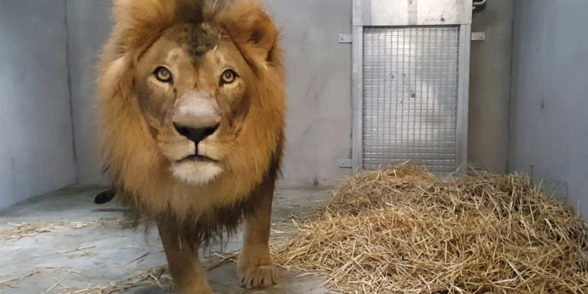 Imposante mannetjes leeuw Dukat aangekomen in DierenPark Amersfoort