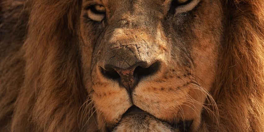 Leeuw bijt leeuwin dood in Burgers Zoo