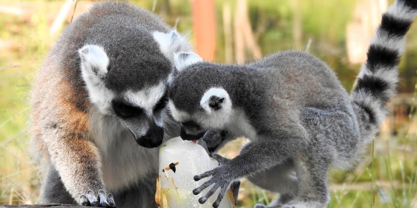 IJskoude zomer voor dieren in DierenPark Amersfoort