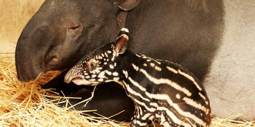 Twee zeldzame tapirs vlak achter elkaar geboren in Artis