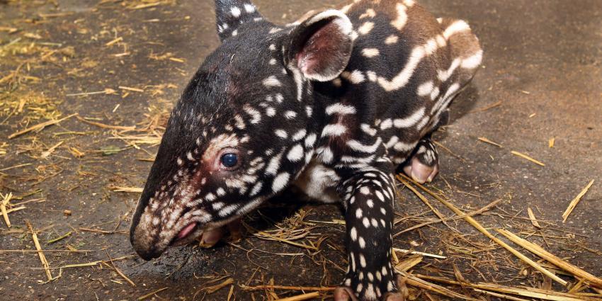 Gezonde Maleise tapir geboren in Artis