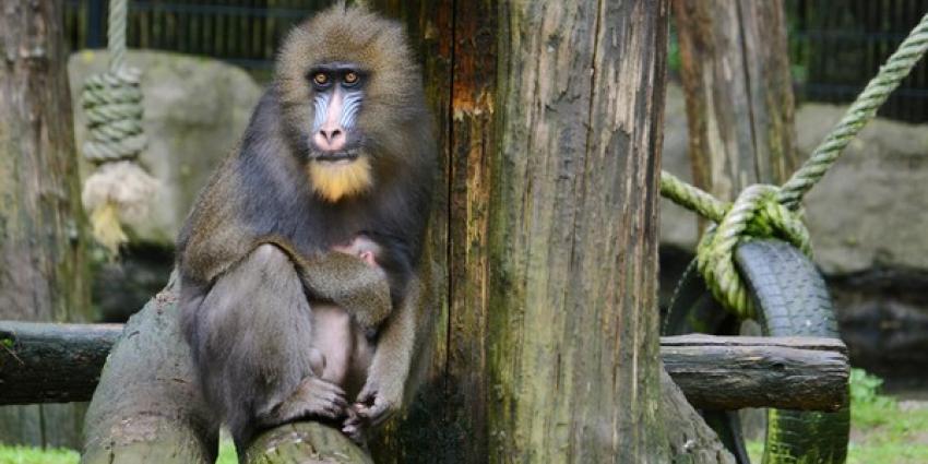 Mandril geboren in Ouwehands Dierenpark Rhenen