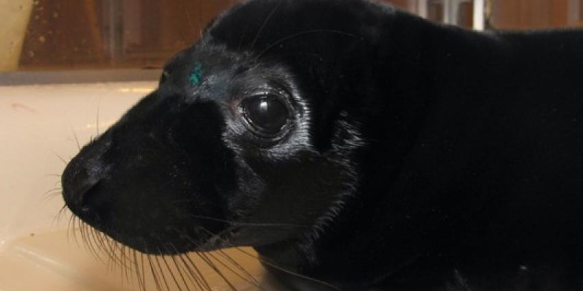 Unieke zwarte zeehondenpup in Zeehondencrèche Pieterburen