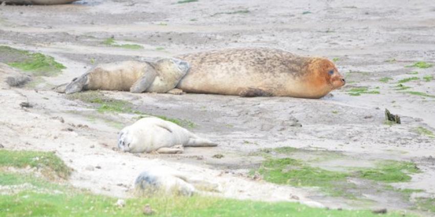 Zeehondenpups hebben behoefte aan rust, geen opvang
