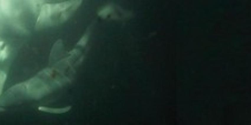 Foto van tuimelaar met jong   Dolfinarium
