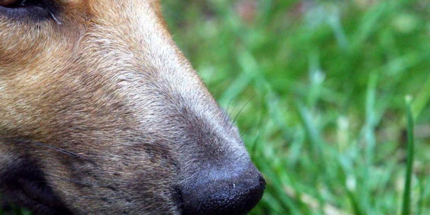 Ontsnapte voortvluchtige weet politiehond niet om de tuin te leiden