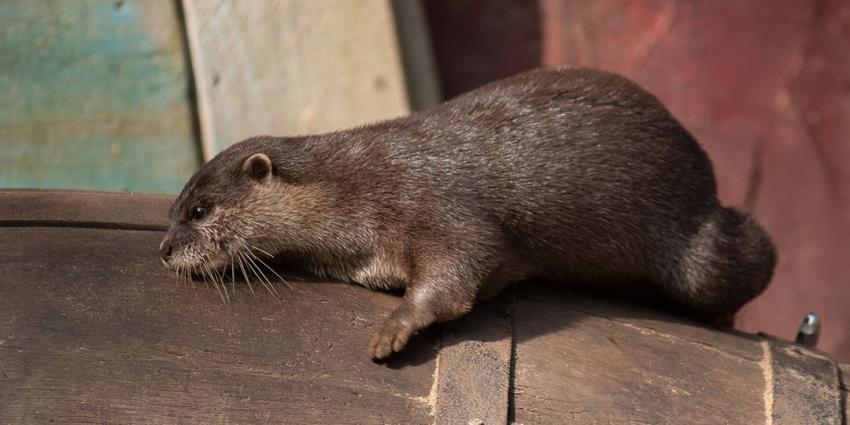Twee otterbroertjes gearriveerd in DierenPark Amersfoort
