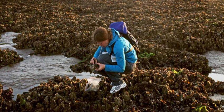 Platte oesters gevonden in de Waddenzee