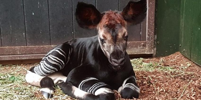 Okapi geboren in Diergaarde Blijdorp