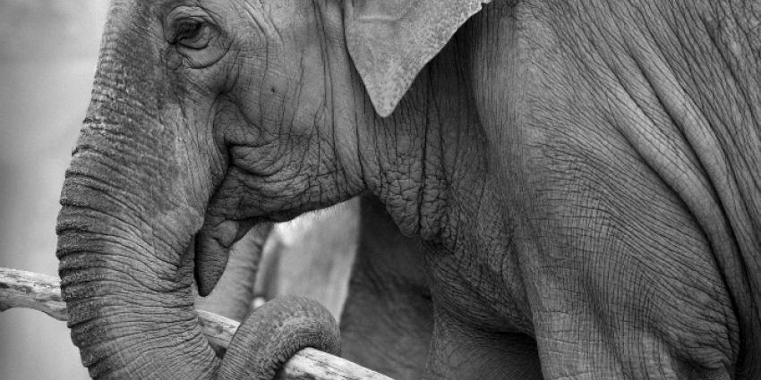 Belgische toerist in Kenia doodgetrapt door olifant