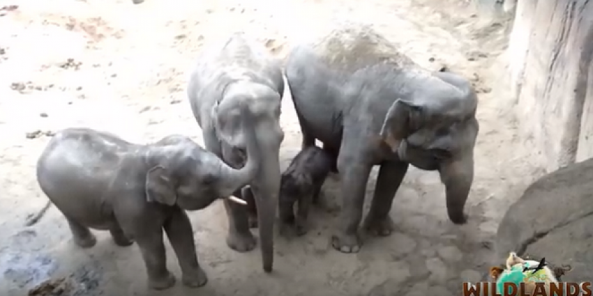 Eerste olifantje in dierenpark Wildlands geboren