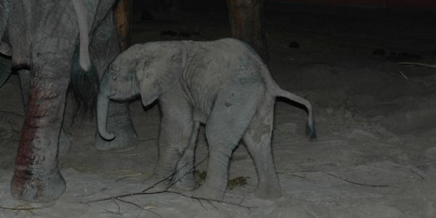 Olifantje eindelijk geboren in Safaripark Beekse Bergen