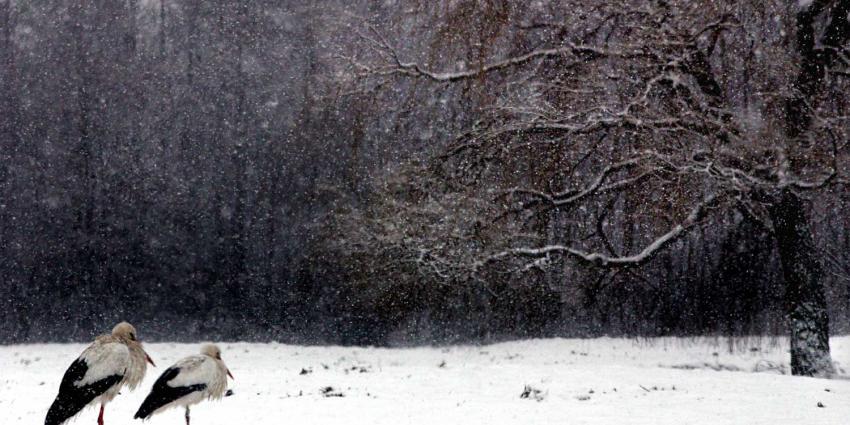 ooievaar-sneeuw