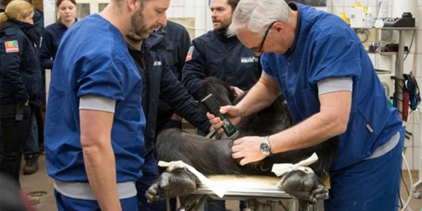 Sterilisatie chimpansee op leeftijd weer ongedaan gemaakt