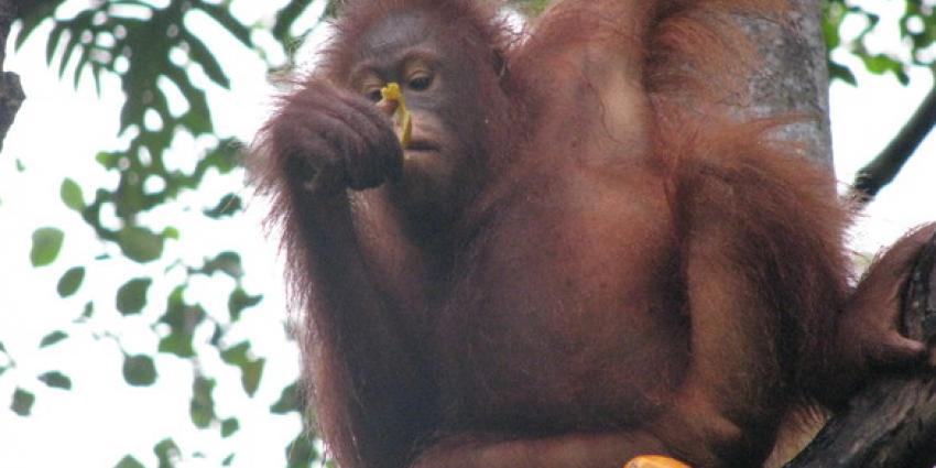 Apenheul laat orang-oetanvrouwtjes partner zoeken via touchscreen